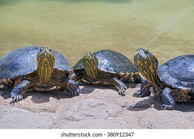 SAO PAULO, SP, BRAZIL - DECEMBER 26, 2015 - Turtles basking in the sun