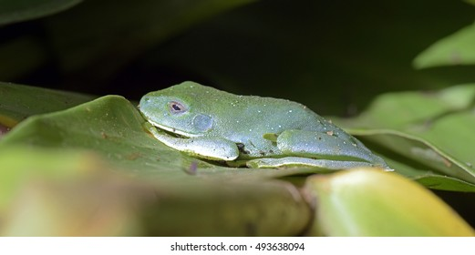 SAO PAULO, SP, BRAZIL - JUNE 4, 2015 - True tree frog, amphibian of the Hylidae family, characterized by the suction cups on the fingertips
