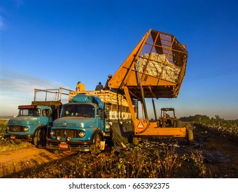 Sao Paulo, SP, Brazil, May 10, 2005. Cotton harvester dumps the product from a truck on a farm