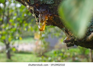 Sap or resin oozing from an injured tree branch with damaged missing bark in a woodland or garden setting in close up
