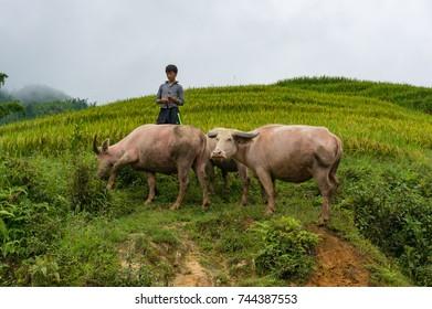 SaPa, Vietnam - August 18, 2017: Vietnamese boy tending water buffaloes outdoors