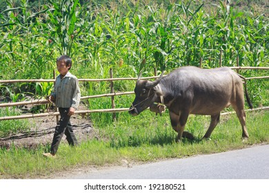 SAPA, VIETNAM - SEPT 29: Unidentified child guiding buffalo for pasturing on road near Sapa, Lao Cai, Vietnam. On September 29, 2013.