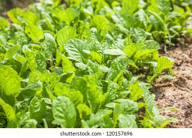 """sapling of """"Baby Chinese Cabbage"""", a kind of cabbage,also called Endive"""