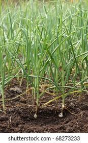 sapling of garlic