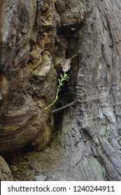 Sapling of Giant Redwood Tree