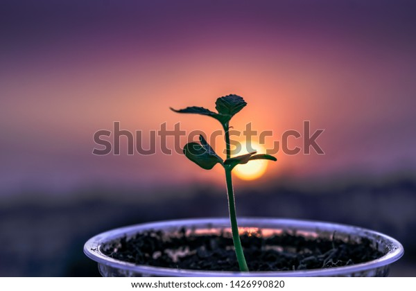 sapling growing in a cup of soil beautiful background of sunset glowing and growing healthy.