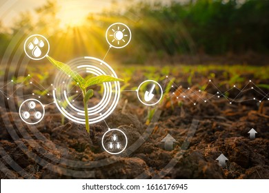 Sapling mung bean in agriculture garden with light shines sunset and with modern technology concepts