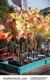 Saplings of grape vines in pots ready for sale in nursery
