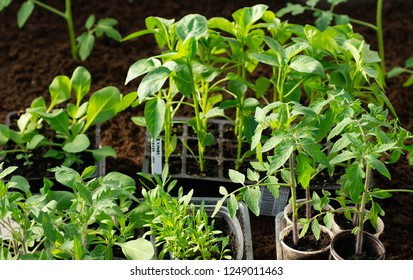 Saplings in the greenhouse. Pepper seedlings, tomato seedlings, closeup of young leaves of pepper, fresh spring background.