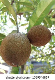 Sapodilla fruit. Fruit that is beneficial for the formation of red blood cells - Shutterstock ID 1369546859