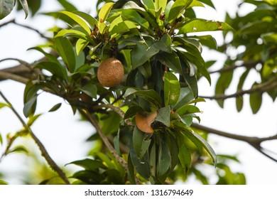 Sapodilla plants sapota tree fruits healthy farm closeup food sweet juicy nature