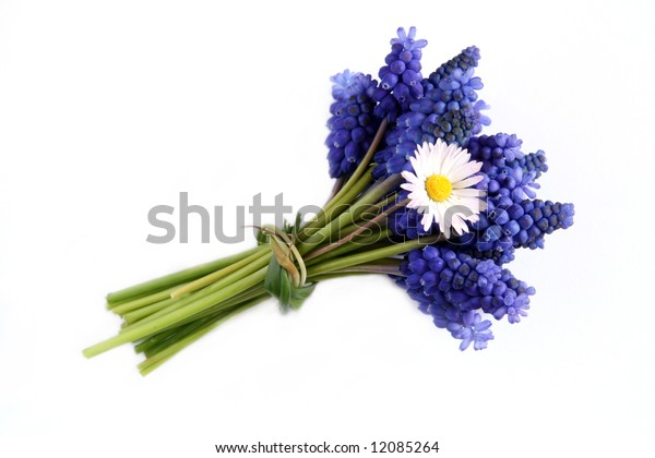 Sapphire blue grape hyacinths with a daisy in a bunch isolated against white background