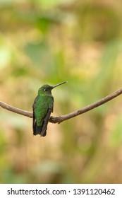Sapphire-vented Puffleg Hummingbird - On a Perch