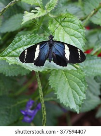 Sara Longwing Butterfly with Wings Spread on Green Leaf