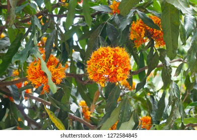 Saraca indica or asoka-tree or ashok or simply asoca orange flowers