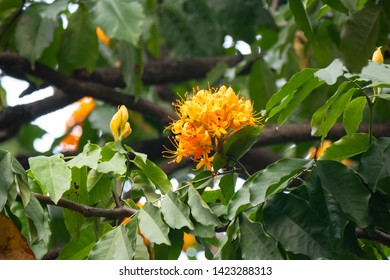 Saraca indica or asoka-tree or ashok or simply asoca orange flowers, Hanoi Vietnam