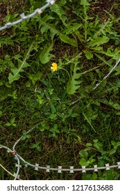 Sarajevo, 08/07/2018: barbed wire and a yellow flower in the reproduction of a minefield at the Sarajevo Tunnel Museum which housing the underground tunnel built in 1993 during the Siege of Sarajevo