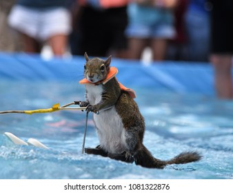 Sarasota, FL, April 2018, Twiggy the very cute Squirrel is showing off her many waterskiing talents by posing while skiing crystal clear waters on a pool during Sarasota Sun Coast Boat Trade Show