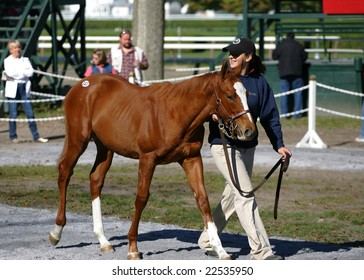 Saratoga Springs, NY - October 12, 2008: A weanling being walked by its handler at the 2008 New York State Breeders fall breeding stock sale, on the backstretch at Saratoga Race Track, Oct 12, 2008