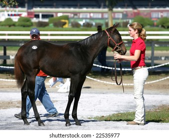 Saratoga Springs, NY - October 12, 2008: A prospective buyer looks over a weanling during the 2008 New York State Breeders fall breeding stock sale at the Saratoga Race Track October 12, 2008