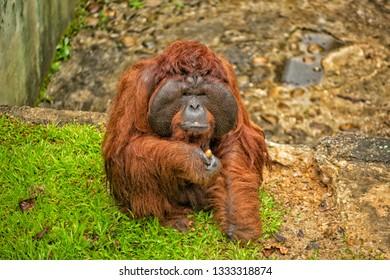 Sarawak, Malaysia, January 1, 2019: Orangutan in the Matang Wildlife Centre, part of the Orangutan adoption program, situated in the Kubah National Park, near Kuching, Malaysia
