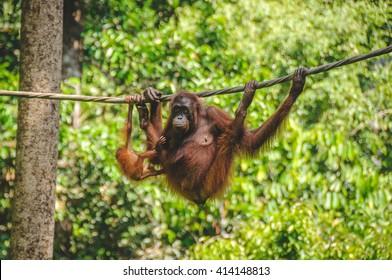 SARAWAK, MALAYSIA - JULY 9, 2011: The Sepilok Orangutan rehabilitation centre near Sandakan in Borneo