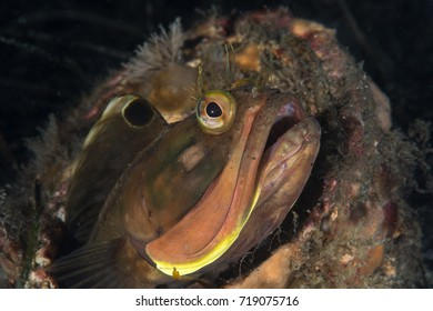 Sarcastic Fringe Head fish peeking out of his shell