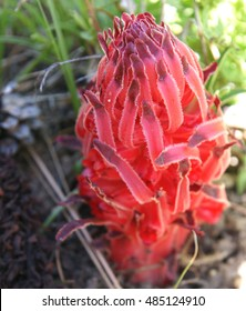Sarcodes sanguinea, Snow plant, Snow flower, parasitic plant extracting nutrition from tree roots through mycorrhizal fungi, inflorescence with blood red strap shaped bracts visible above ground.