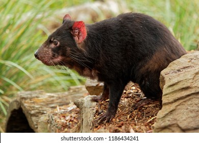 Sarcophilus harrisii - Tasmanian Devil in the night and day in Australia.