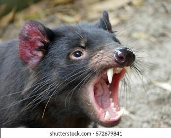 Sarcophilus harrisii, Tasmanian Devil, Tasmania, Australia