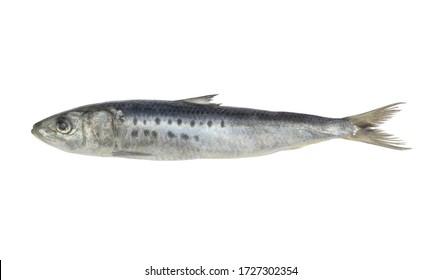 Sardine fish isolated on white background