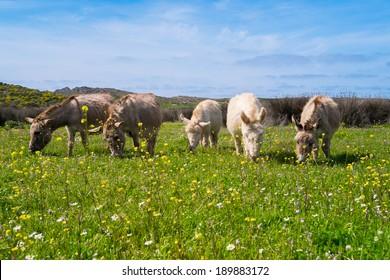 Sardinian donkeys in Asinara island in Sardinia, Italy