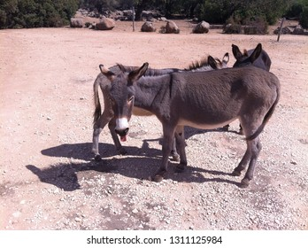 Sardinian Donkeys with tounge out
