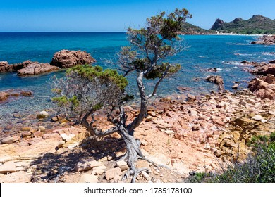 Sardinian juniper on the edge of the red rock above a blue bay in the beach of Su Sirboni