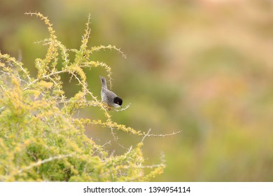 Sardinian warbler on the bush in Portugal