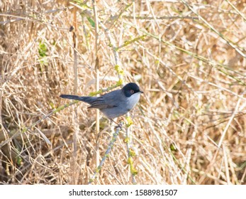 The Sardinian warbler (Sylvia melanocephala) is a common and widespread typical warbler from the Mediterranean region.
