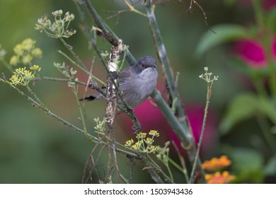 A Sardinian warbler (Sylvia melanocephala) perched at daytime on a branch in a flower garden in the Algarve Portugal.