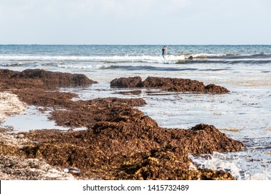 Sargasso seaweed pollution on Caribbean beaches in Mexico. Playa del Carmen, Quintana Roo.