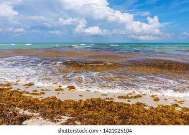 Sargassum at the Beach Coast