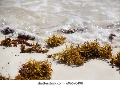 sargassum at the beach in mexico