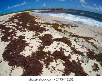 sargassum on beach in Guadeloupe, French overseas territory in caribbean