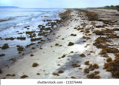 Sargassum Seaweed blankets this Atlantic beach after a storm. Floating sargassum provides both food and shelter for many sea creatures, including the loggerhead turtle.