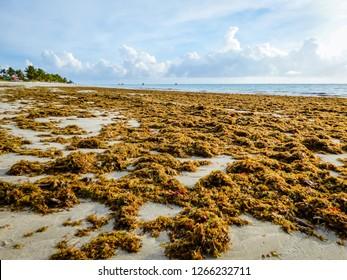 A lot of Sargassum seaweed on the shore of Rio Ambar Beach on Itamaraca Island (Pernambuco state, Brazil)