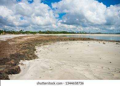 A lot of Sargassum seaweed on the shore of Sossego Beach on Itamaraca Island (Pernambuco state, Brazil)