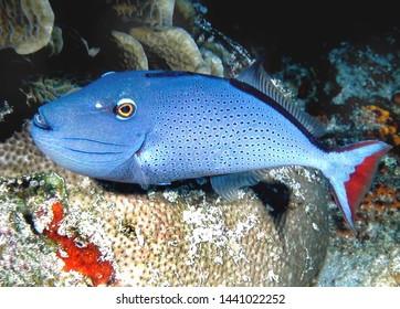Sargassum Triggerfish Cozumel Caribbean Mexico
