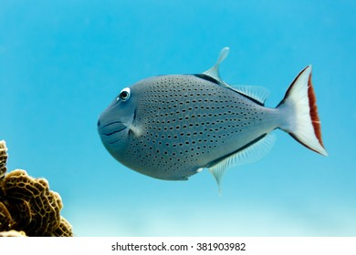 Sargassum Triggerfish xanthichthys  ringens swimming on coral reef