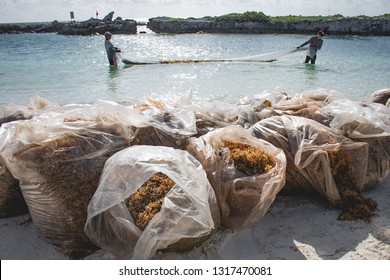 sargassum workers collecting the seaweed using a nest