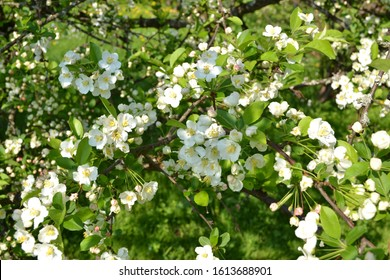 Sargent crabapple (Malus sargentii) flowers, seeds and trunk