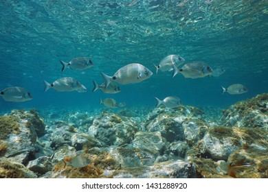 Sargo seabream fish, Diplodus sargus, underwater in Mediterranean sea between water surface and rocks on the seabed, France