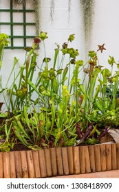 Sarracenia carnivorous plant is growinf in garden. Insect consuming plant with leaves as trap.